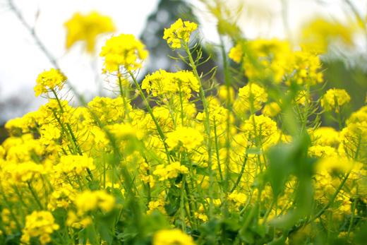 偶然出かけた横浜・追分市民の森「菜の花畑」が満開を向かえていました!瀬谷市民の森と矢指市民の森を2時間半かけて散策。