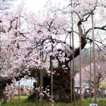 樹齢2000年と言われてるエドヒガンザクラの老木 山高神代桜(やまたかじんだいざくら)へ今年もお花見に行ってきましたヨ!