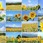 お盆はもちろん8月一杯楽しめる!「60万本のひまわりの祭典 明野サンフラワーフェス」のひまわり畑を、運営サイト『明野ナビ!』より紹介。