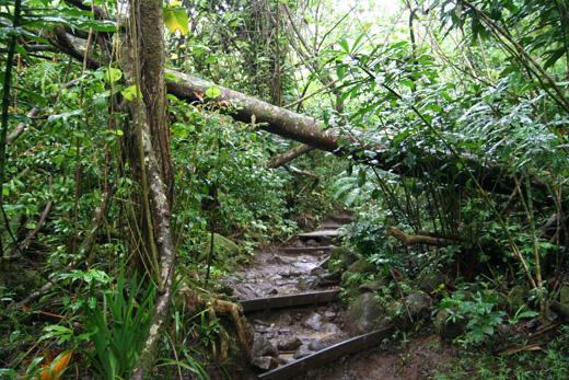 ハワイのジャングル、「マノア・フォールズ・トレイル」トレッキング