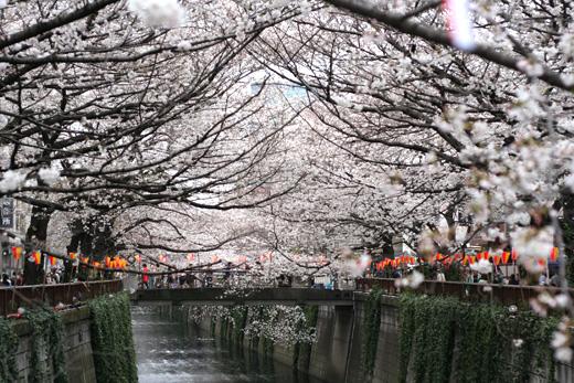 今が見頃!関東の人気お花見スポットランキング第2位の目黒川桜並木にお花見に行ってきまし。